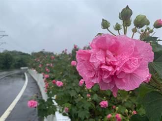 蘇軾、王安石也讚嘆!淡水木芙蓉綻放桃紅、純白飄浪漫