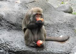 動物園餵食秀藏「心機」!台灣獼猴非得要嘗「甜」