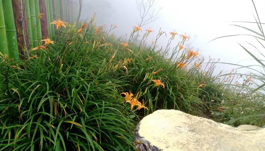 氣候影響打亂花期,金針山上11月仍看得到金針花。(翻攝照片/楊漢聲台東傳真)
