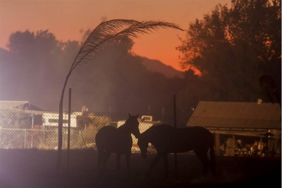 當消防員在和加州大火搏鬥時,有另一匹黑馬也是英雄。(圖/美聯社)