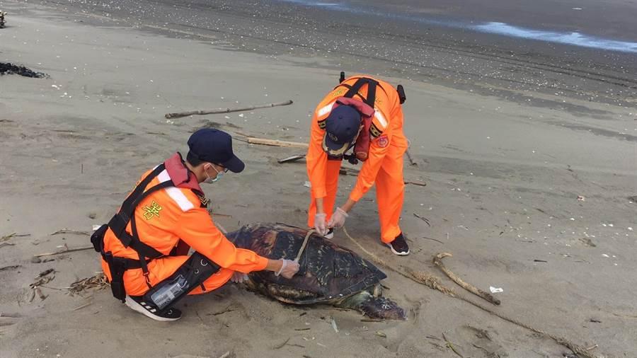 海巡署第3岸巡隊外埔安檢所人員在後龍外埔沙灘發現一只死亡海龜。〔外埔安檢所提供/謝明俊苗栗傳真〕
