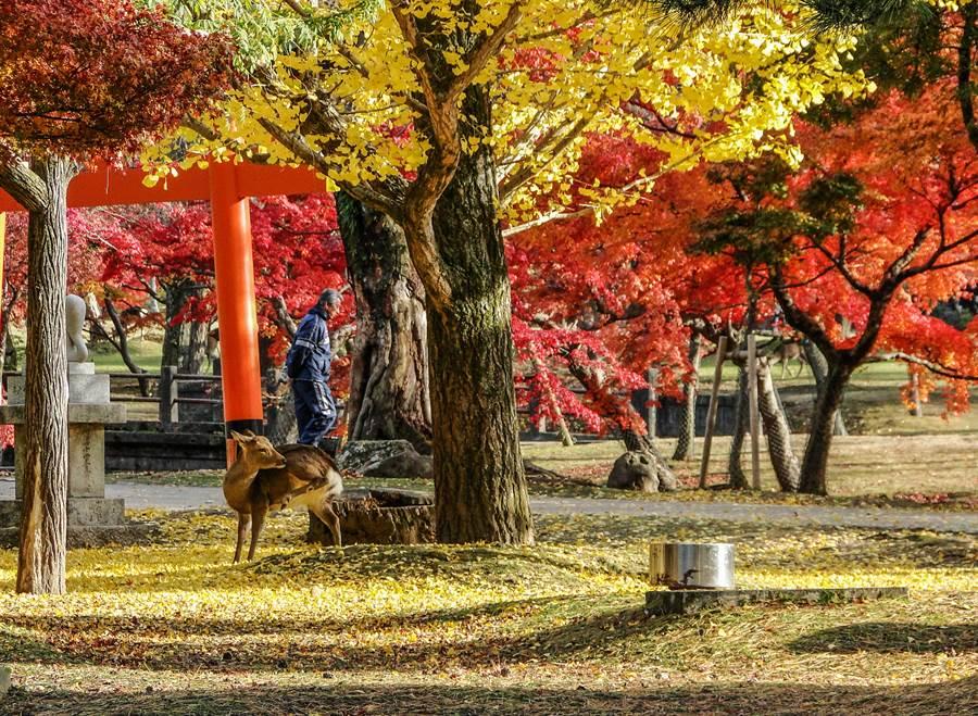 「奈良鹿公園」小鹿互動,是最棒的體驗/盈達旅遊提供