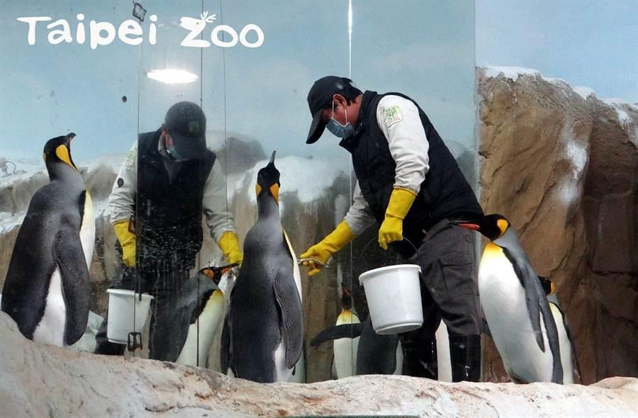 工作人員會提著一大桶鮮魚進入活動場內餵食國王企鵝。(台北市立動物園提供/游念育台北傳真)