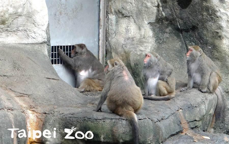 精明的獼猴會從隔欄偷窺保育員的一舉一動。(台北市立動物園提供/游念育台北傳真)
