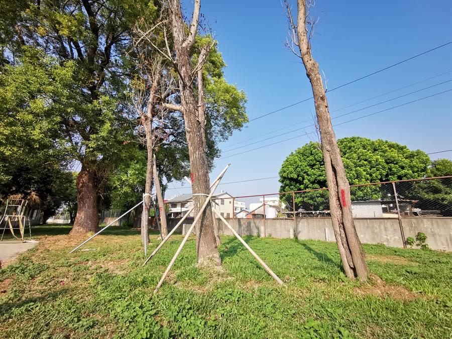 溪州國小5棵楓像樹,去年4月被前校長暫時移植到余姓校友私人土地,今年8月又被種回原處,但因為夏季並非移植樹木的好時機,遭反覆斷根移植的5棵樹只剩枯枝黃葉奄奄一息。(吳建輝攝)