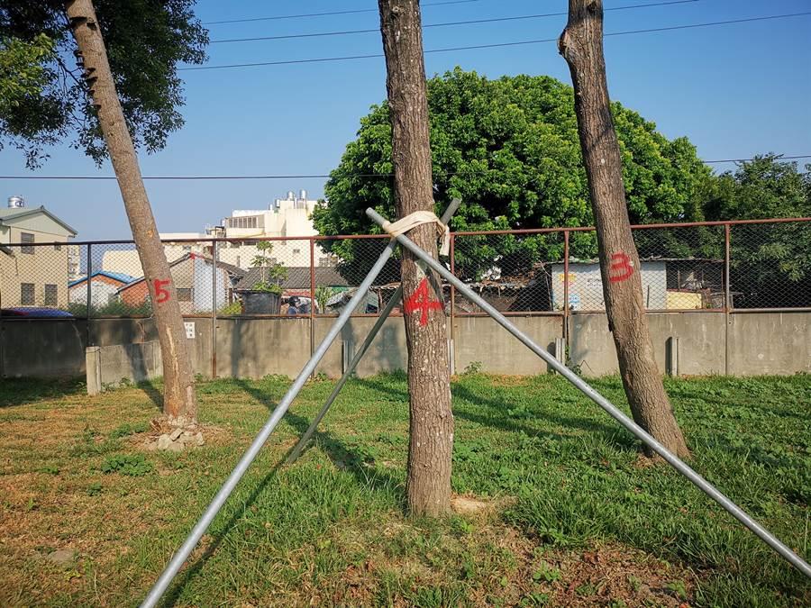 溪州國小被移走又種回來的5棵楓香樹如今奄奄一息,校方指樹身的噴漆是日前檢調單位前來調查時所噴上。(吳建輝攝)