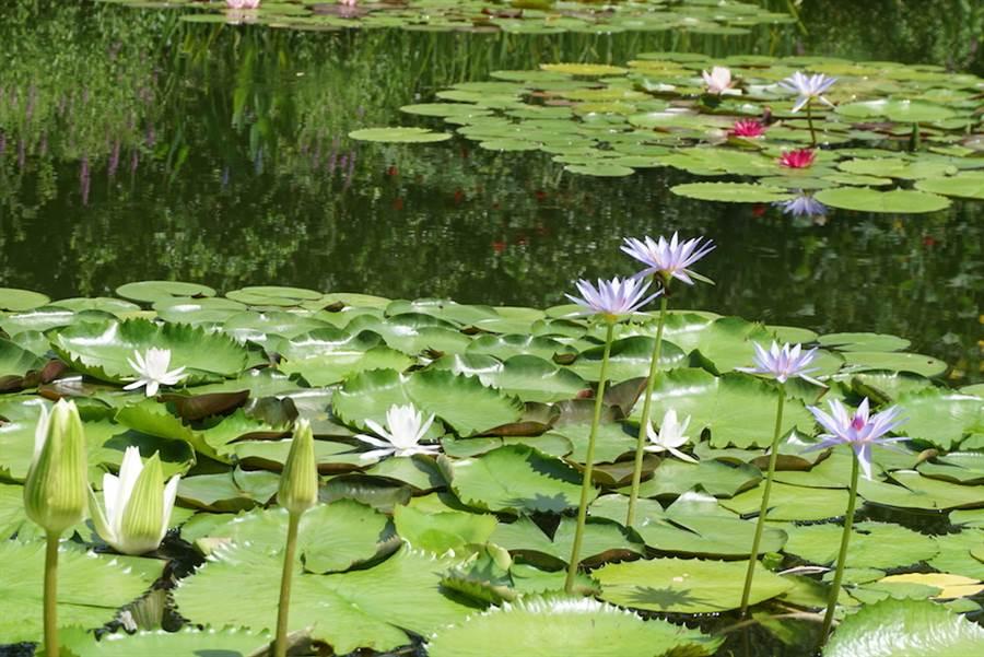 北川村莫內庭園內的池塘裡,每年6月下旬至11月上旬可欣賞到特殊的藍色睡蓮。(黃菁菁攝於2019年8月)