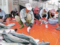 風味一級棒 口湖烏魚新鮮又安全