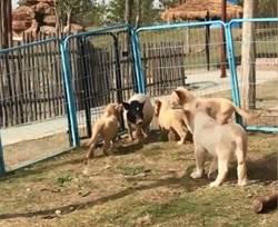 豬闖入幼獅群被包圍 結局出乎意料