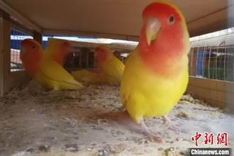 中越邊境截獲436隻大陸二級保護動物鸚鵡