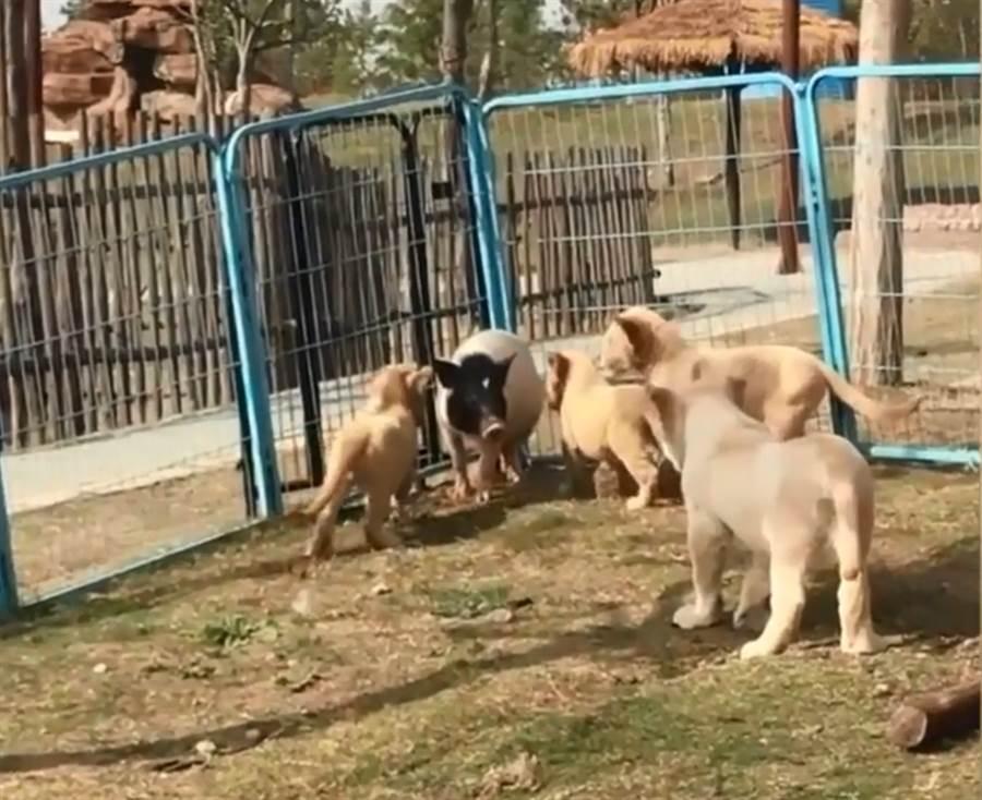 豬闖入幼獅群被包圍 結局出乎意料(圖翻攝自/梨視頻)