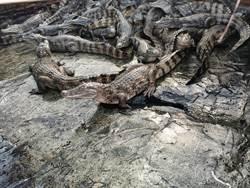 義竹「義築優鱻」活動周末登場 快來看鱷魚、嘗美食
