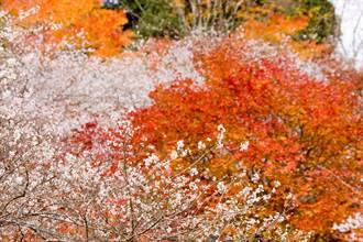 秋季賞楓兼賞櫻!熱情紅葉、粉紅櫻花就在日本這