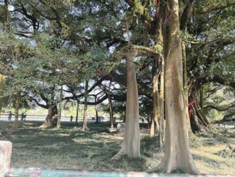 廣西千年愛情樹 吸引遊人來朝聖