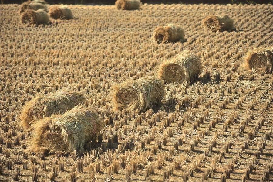 稻穀收穫期,農糧署鼓勵農民將稻草切碎,掩埋入土當作肥料。(農糧署提供/巫靜婷苗栗傳真)