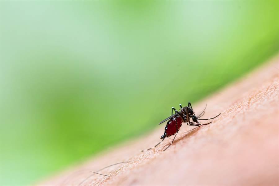 埃及斑蚊叮咬人體。埃及斑蚊為登革熱傳染媒介。(shutterstock)