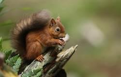 6隻松鼠詭異排列 專家嚇歪:快救牠