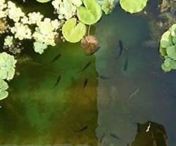 汐止區公所飼養蓋斑鬥魚 藉機宣導防疫觀念