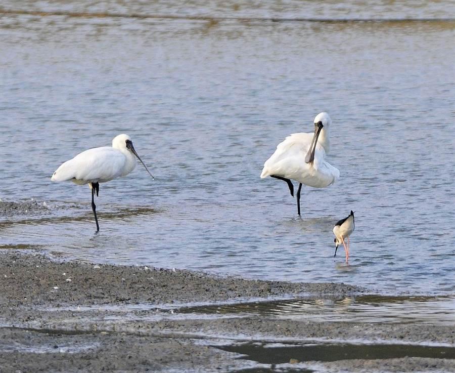 金門有300多種鳥類,定期來訪的冬候鳥讓溼地繽紛多姿。(李金生攝)