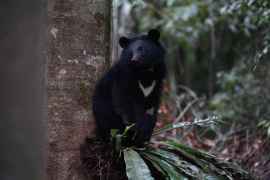 《黑熊來了》拍到許多可貴的黑熊蹤跡。(牽猴子整合行銷提供)