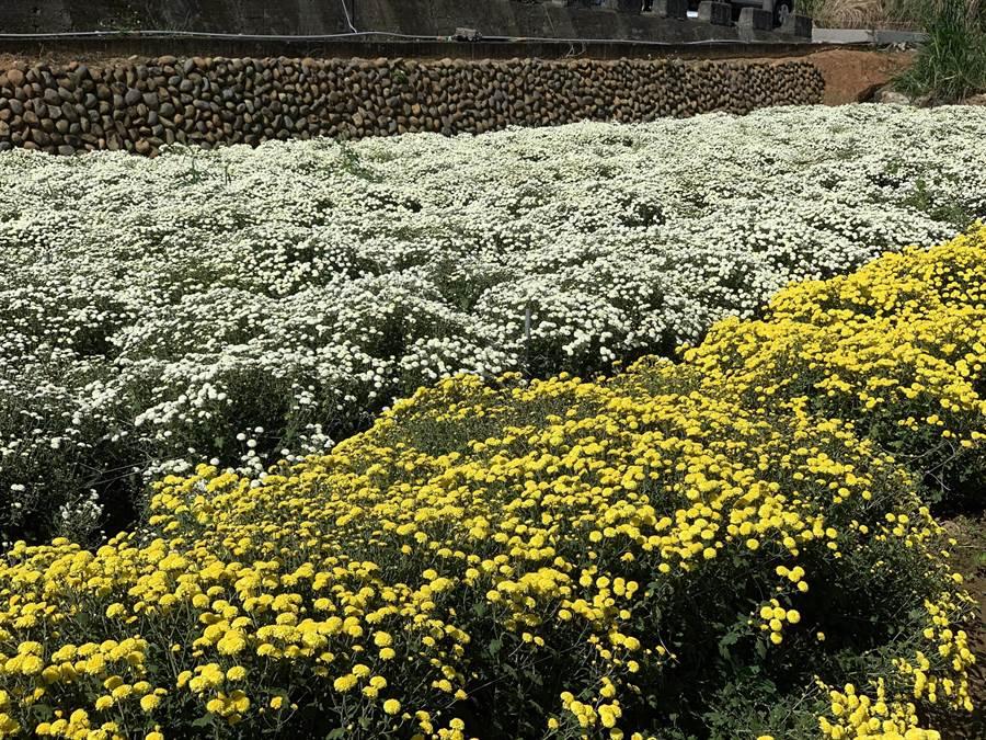 今年銅鑼杭菊種植面積30公頃,採收前將受縣府與銅鑼鄉農會進行農藥檢驗,把關食安。(何冠嫻攝)