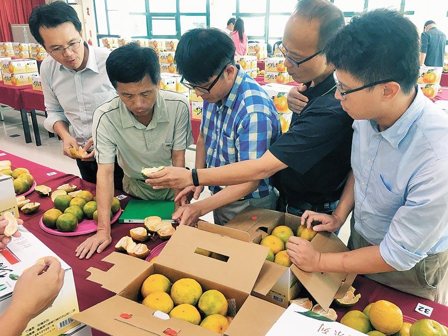 竹崎鄉農會6日舉辦首屆「竹橘香」柑桔評鑑,評審就外觀、風味質地、糖度3方面評分。(張亦惠攝)