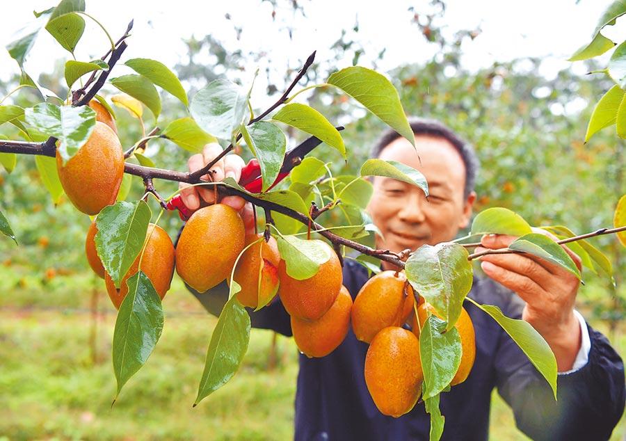 河南省洛陽洛寧縣,農友經營示範基地500餘畝。(新華社)