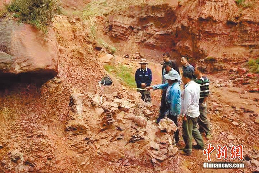 11月5日,甘肅永靖發現了巨龍形類蜥腳類和新鳥臀類恐龍化石。(取自中新網)