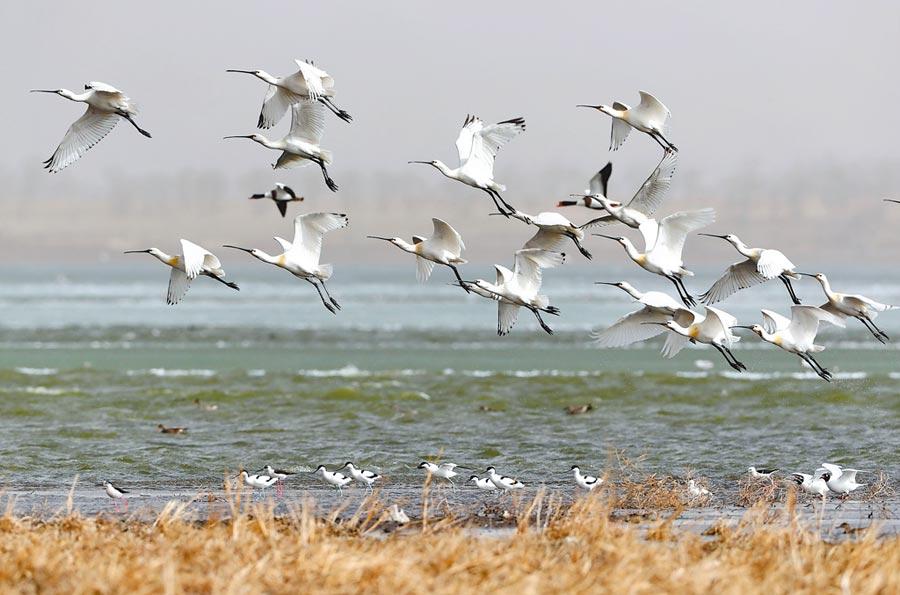 近日河北省滄州東部沿海地區迎來9萬餘隻南遷候鳥停歇補給。圖為4月20日,大批天鵝、白琵鷺、灰鶴、大雁等候鳥飛抵閃電河國家濕地公園。(新華社)