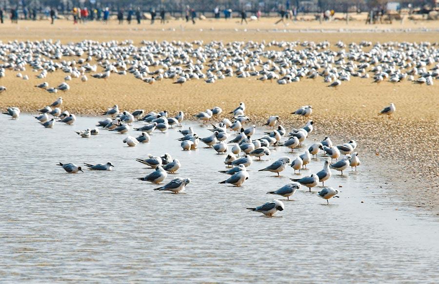 截至目前,滄州已救護國家級和省級重點保護動物50餘種、12000餘隻。圖為4月4日,石家莊秦皇島出現「萬鳥臨海」奇觀。(新華社)