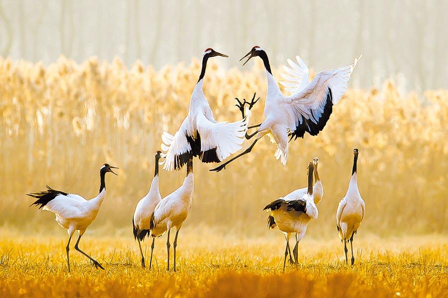 丹頂鶴在江蘇鹽城濕地珍禽國家級自然保護區內嬉戲。(中新社資料照片)