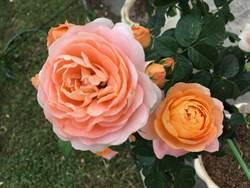 台北玫瑰園周六開展!白桃妖精、粉菊太陽花綻放比嬌豔