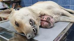 20多年來首例!流浪犬頸掛巨大腫瘤竟是頸圈惹禍