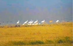 江西省鳥越冬 白鶴飛抵鄱陽湖