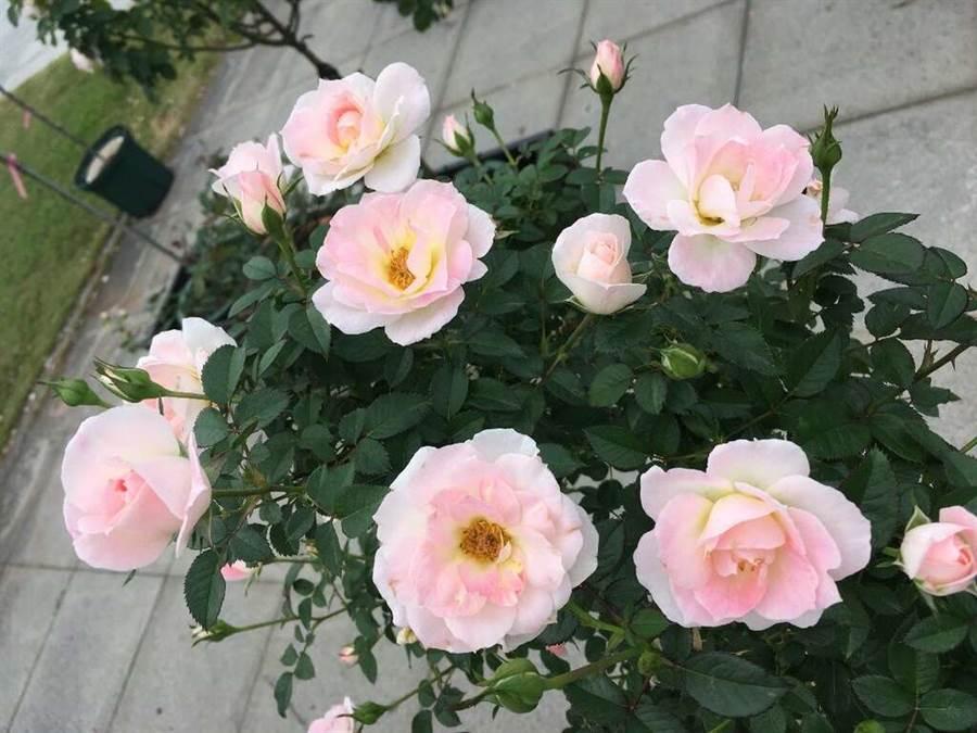 白桃妖精。(圖取自台北旅遊網)
