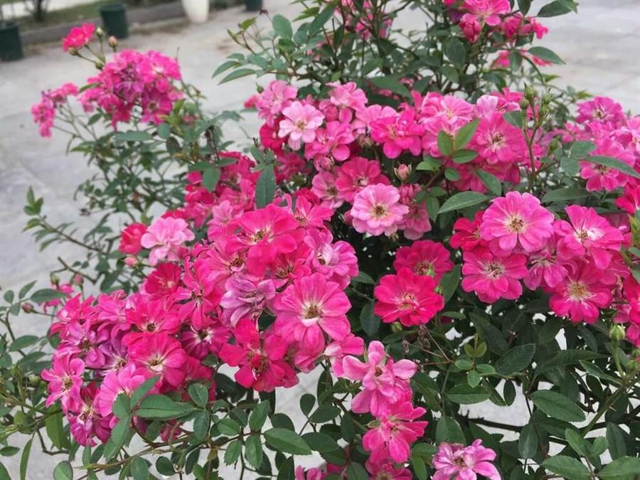 花朵迷你的「紅蓮」。(圖取自台北旅遊網)