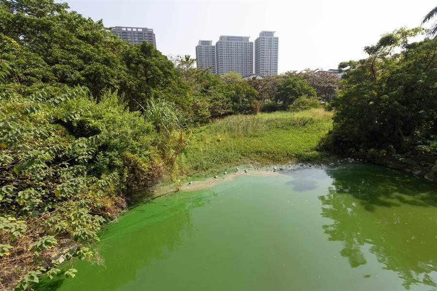 高美館生態池循環不佳,水路末端目前呈現深綠色,水質堪憂。(袁庭堯攝)