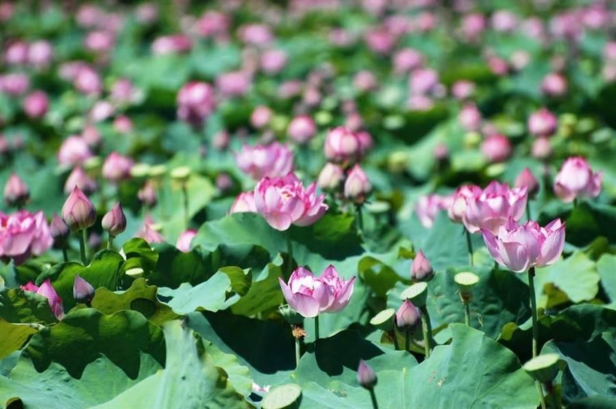 每年六到八月蓮花、荷花盛開,淡雅美麗。