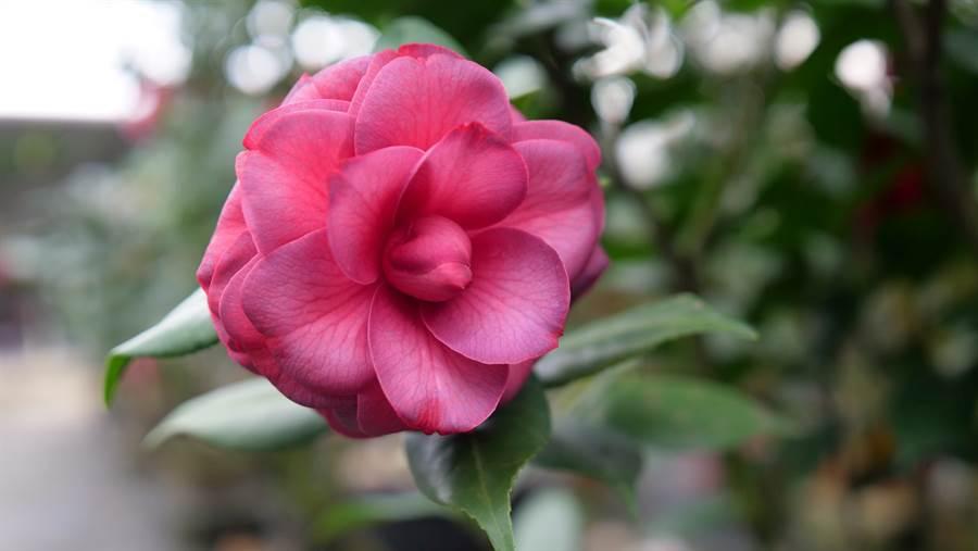 茶花花量大,花色艷麗,而且枝葉茂盛,非常喜氣。(圖片/大溪月眉休閒農業發展協會 提供)