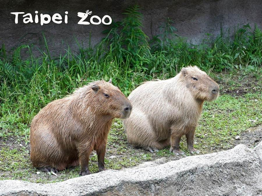 為迎接鼠年的到來,動物園還推出「送豬迎鼠」系列活動,只要帶著智慧型手機到熱帶雨林館就可以和鼠年動物大使「水豚卡皮」一起探索雨林區。(台北市立動物園提供/游念育台北傳真)