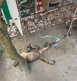 長治農莊害1貓中2支捕獸夾   台灣動物公布殘忍事證
