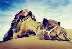沙漠見死掉駱駝 專家急勸快逃!
