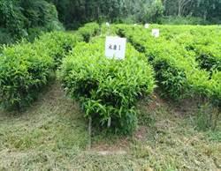 冰河期就有 台灣原生茶樹散出這味