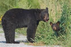 小熊被車撞傷 母奮力救兒結局心碎