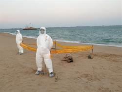 又來了! 小金門海漂豬檢出非洲豬瘟