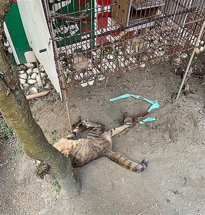 長治恐怖農莊害一貓中2支捕獸夾,台灣動物緊急救援小組公布「殘忍事證」要屏東動防所硬起來。(台灣動物緊急救援小組提供/謝佳潾屏東傳真)