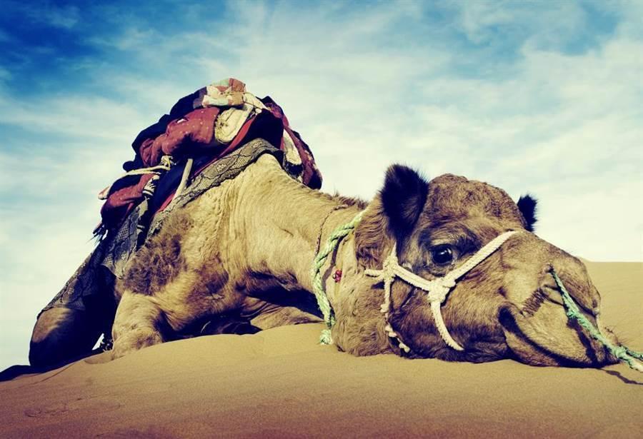 沙漠見死掉駱駝 專家急勸快逃!(圖片取自/達志影像)