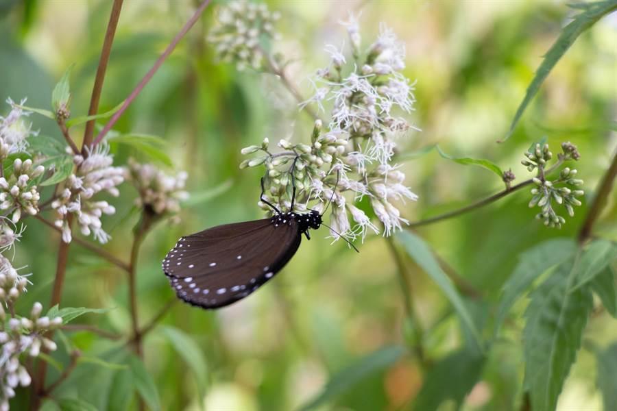 茂林區山谷中每到秋冬之際就會有神秘的紫蝶嬌客悄悄來臨。(林雅惠攝)