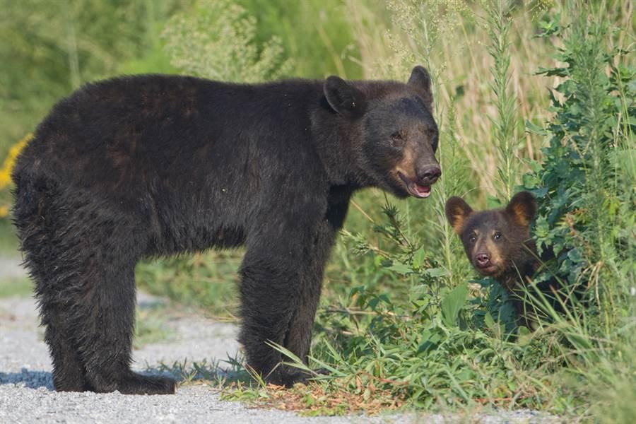 小熊被車撞傷 母奮力救兒結局心碎(示意圖/達志影像)