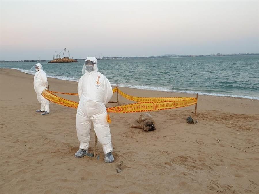 小金門(烈嶼鄉)將軍堡海灘附近,6日下午發現1隻漂流死豬,農委會家畜衛生試驗所檢驗結果,今(9)日證實檢出非洲豬瘟病毒。(金門縣防疫所提供/李金生金門傳真)